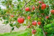 柏木果樹園 葉とらずりんご(サンふじ)