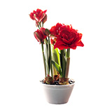 八重咲き アマリリスの画像
