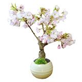 ミニ盆栽 桜の画像