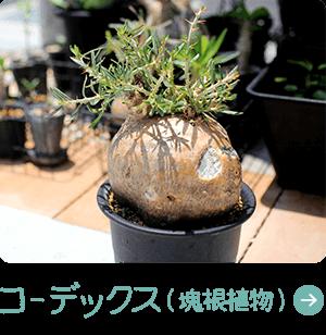 コーデックス(塊根植物)