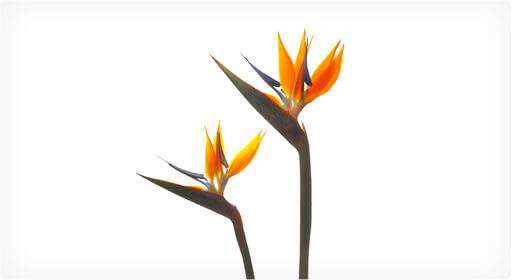 ストレリチア・レギネ(極楽鳥花)