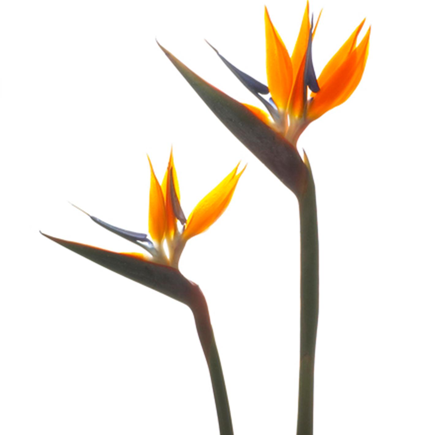 価格.com】ストレリチア・レギネ(極楽鳥花)の育て方・通販