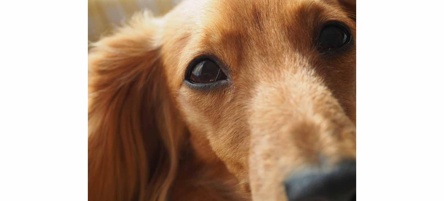 犬の白内障