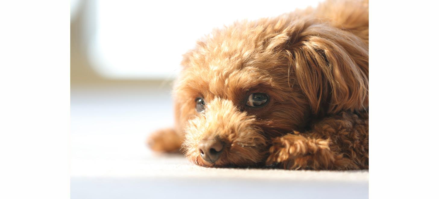 犬パルボウイルス