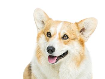犬ジステンパーウイルス感染症