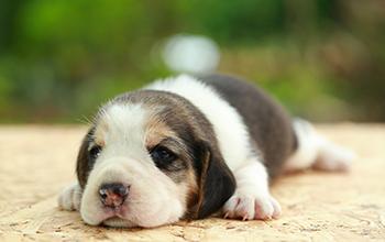 犬の泌尿器・生殖器の病気