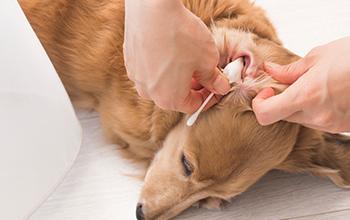 犬の耳の病気