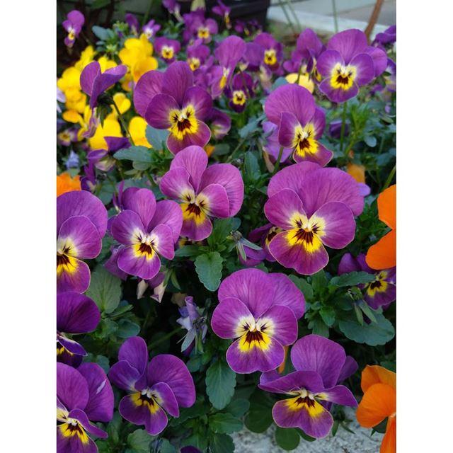 花を撮影すると「フラワー」に設定され、紫やオレンジ、黄色などが鮮やかに調整される