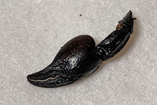 ハサミの部分は相当硬く、ピスタチオの殻を噛んでいるような感じでした