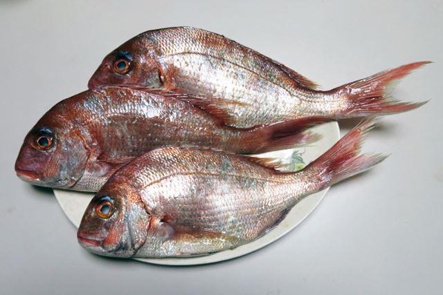 おめでたい席の定番高級魚も、今のシーズンなら船を使わずに狙える手軽なターゲットに!
