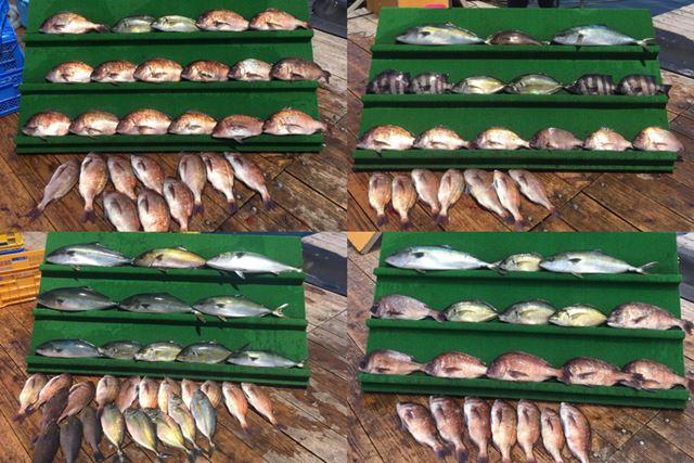 今回訪れた海上釣り堀の釣果情報には、連日大物が大量に!