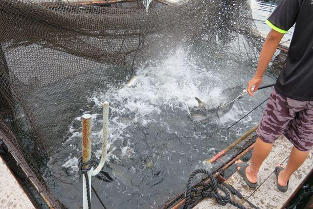 釣り場の横には魚の生けすが設けられており、定期的に放流してくれる