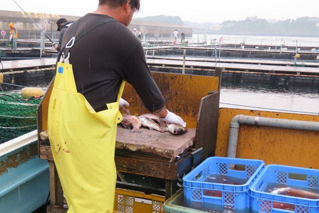 釣れた魚は、最後にスタッフさんが血抜きしてくれる