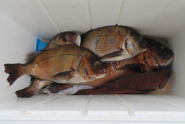 今回の釣果はこの通り。もし釣れなかった場合も、ひとりにつきマダイを2匹お土産でもらえるので安心