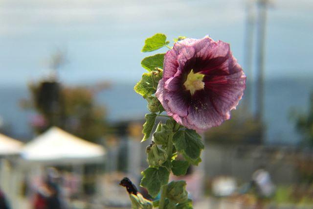 公園に咲いていた花を撮影。背景を大きくぼかし、被写体を強調して撮ることができます