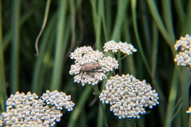 花にやってきたシロテンハナムグリ。模様のディテールもはっきりと写っています