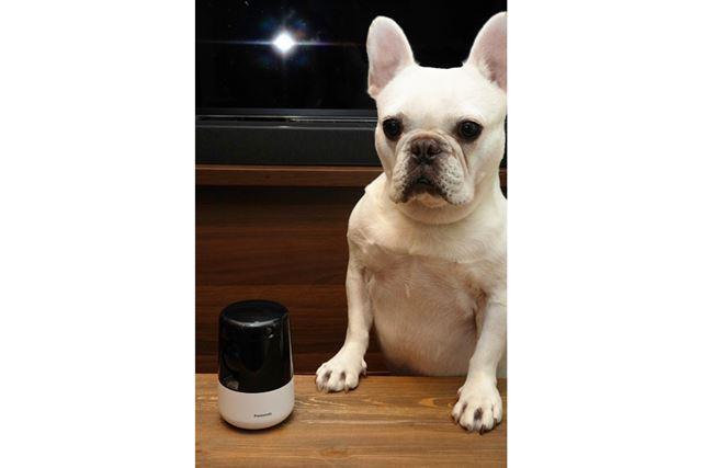 愛犬のフレンチブルドッグの健康と安全のためには……ペットカメラで夏を乗り切る!