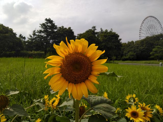 We photograph sunflower outdoors in the light cloudy weather. The resolution of the stigma is quite good