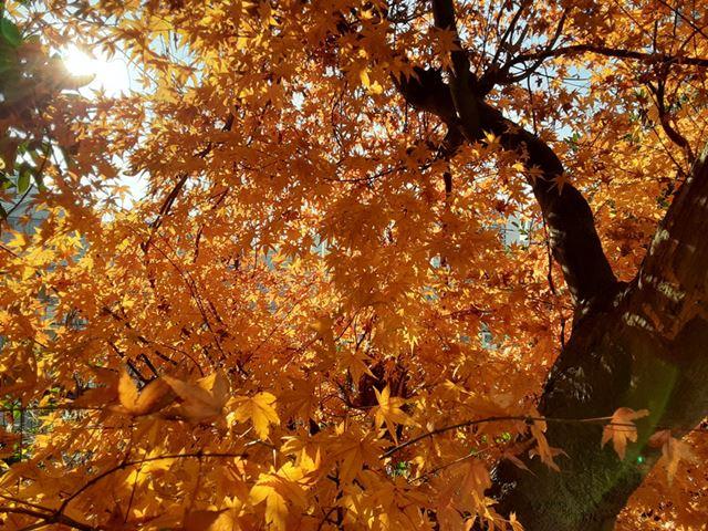 紅葉するカエデを逆行で撮影。明暗差の大きな構図だが、自然な仕上がりで撮影できた