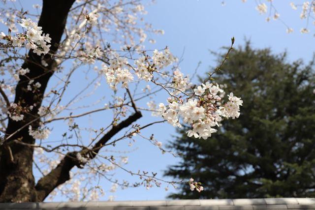 というか、桜は咲くわ天気はよいわで、さすがに家でゴロゴロしている理由がない
