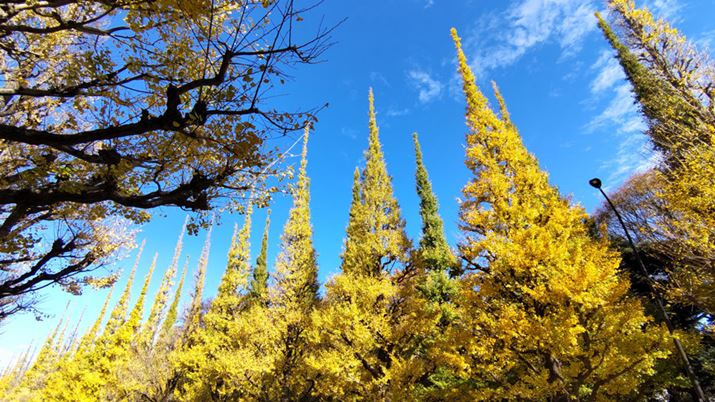 Photographed a row of ginkgo trees during the day. The yellow leaves of ginkgo and the blue sky are quite vivid, but there is no big difference from the impression with the naked eye.The surrounding area is a little rough