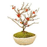 ミニ盆栽 長寿梅の画像