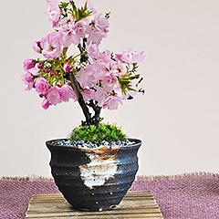 ミニ盆栽 桜