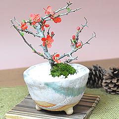 ミニ盆栽 長寿梅