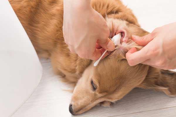 犬 耳 掃除