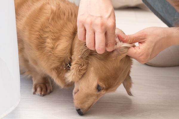 耳 掃除 犬 犬の耳掃除を徹底解説! 頻度は?